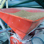 Grain in the hopper