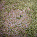 Hop circles in the mash